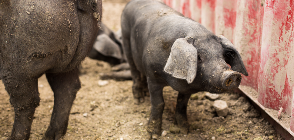 Pigs at F.A.R.M. in Seagoville. [Photo: Chase Mardis]