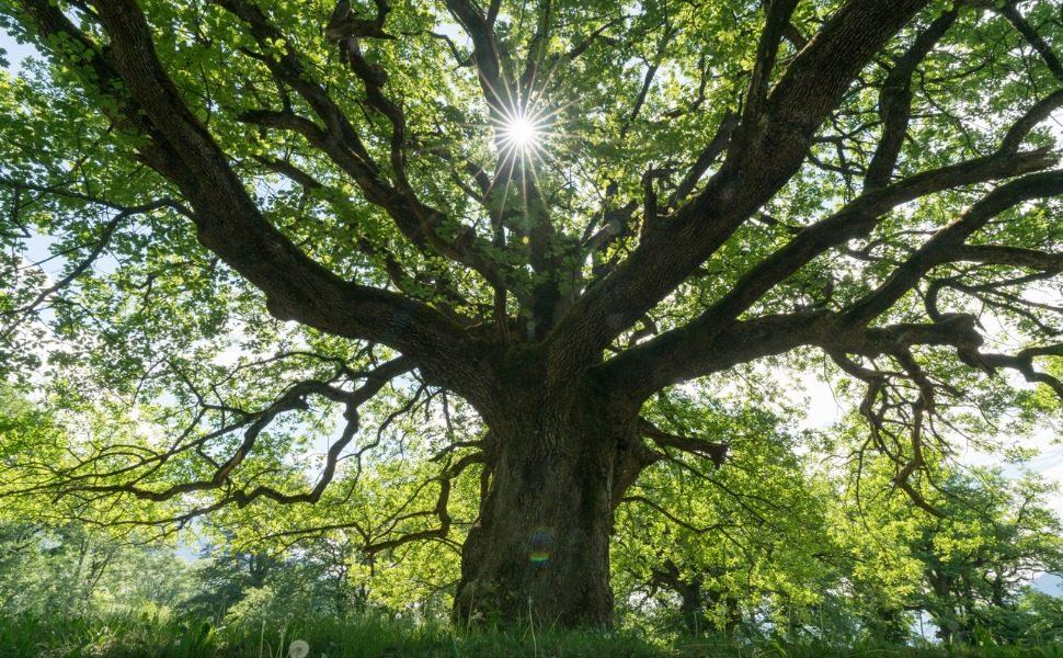 research oak trees